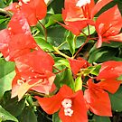 Red Bougainvillea - Grenada by Lorna81