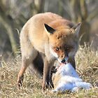 Red Fox with prey 2 by DutchLumix