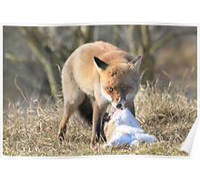 Red Fox with prey 2 Poster
