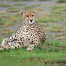 Cheetah in Tanzania, Africa by Raymond J Barlow