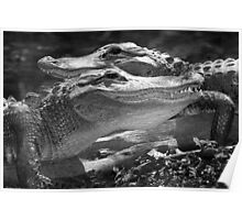 """Happy Gators"" - alligators in the Florida Everglades Poster"