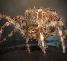 Araneus Diadematus - Garden Spider or Cross Spider by EverWinterDream