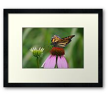 softly landing on an echinacia flower Framed Print