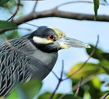 A Framed Yellow-Crowned Night-Heron by Jeff Ore