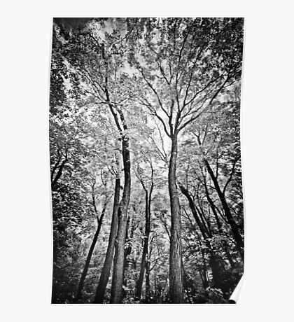 { majestic forest in b&w } Poster