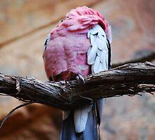 Bird From Austrailia by Brittani Getch