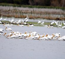 American White Pelicans Feeding by bozette