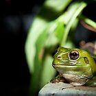 Green Frog by Craig Hender