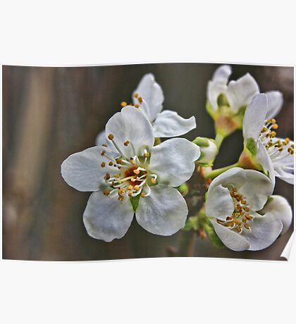 Plum Blossoms March 2011 Poster