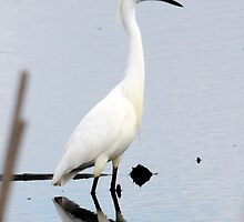 Snowy Egret 2 by bozette