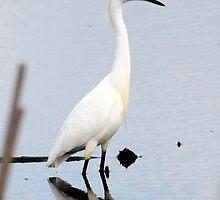 Snowy Egret 2 by bozette