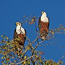 African Fish Eagles by ten2eight