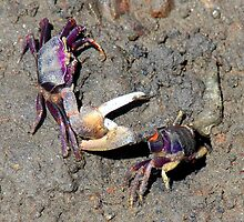 Dueling crabs by Gili Orr