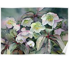 February Hellebores Poster