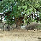 NYALA TREE - Xanthocercis zambesiaca (Njalaboom) by Magaret Meintjes