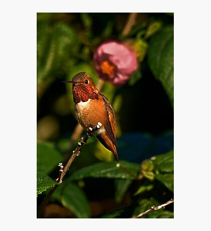 Hummingbird in flowering maple tree Photographic Print