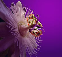 WHITE PASSION FLOWER by RoseMarie747