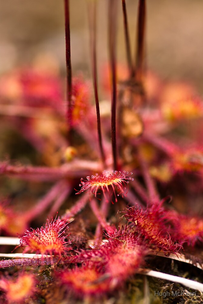 Plant, Round-leaved Sundew, Drosera rotundifolia, Leaves and red glandular hairs by Hugh McKean