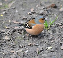 Chaffinch with a Sunflower Seed by Dorothy Thomson