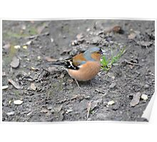 Chaffinch with a Sunflower Seed Poster