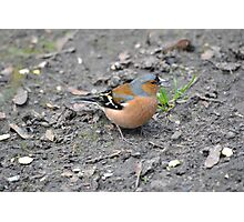 Chaffinch with a Sunflower Seed Photographic Print