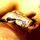 headshot of a Boa constrictor  by thermosoflask