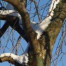 Snowy lichen covered tree by moor2sea