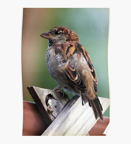 Little Brown Sparrow Poster