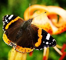 Red Admiral by Guy Carpenter