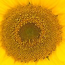 { sunflower II } by Brooke Reynolds