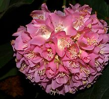 Pink Ball Tropical Hydrangea by ♥⊱ B. Randi Bailey