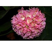 Pink Ball Tropical Hydrangea Photographic Print
