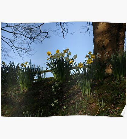 Daffodils in dappled light Poster