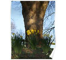 Devon Daffodils Poster
