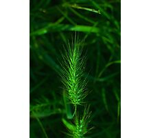 barley pop Photographic Print