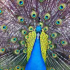 Grand Peacock Display by Janet Fikar