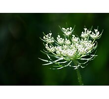 Queen Anne's Lace Photographic Print