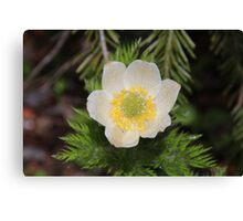 Western Anemone After the Rain Canvas Print