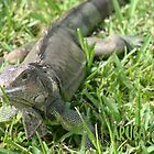 { aruba iguana } by Brooke Reynolds