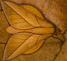 Oiticella convergens moth by Gabor Pozsgai