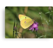 Beautiful Clouded Yellow Butterfly Canvas Print