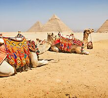 { camels in giza } by Brooke Reynolds