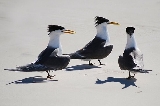 Crested Terns by Ian Berry