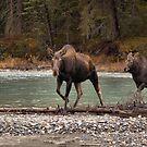 Moose crossing by JamesA1