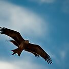 Black Kite by Craig Hender