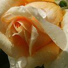Rose covered in water! by KiriLees