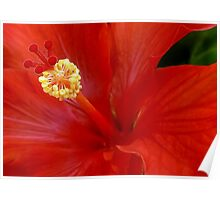 The Reddest Red is Hibiscus Red Poster