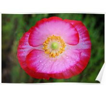 Red and White Poppy, Rain Drops Poster