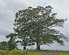 Moreton Bay Fig, Ficus macrophylla, (family Moraceae) by Margaret  Hyde