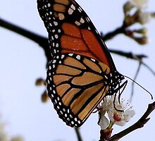 Monarch on a Wild Cherry Tree by Penny Odom